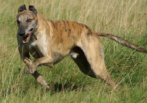 Greyhound. (Foto: Reprodução / Google)