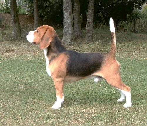 Todo Beagle tem a ponta do rabo branca. (Foto: Reprodução / Google)