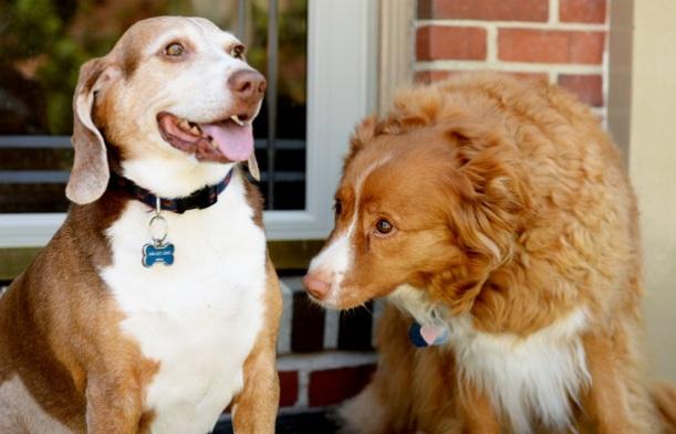 O Beagle LJ teve um encontro às escuras com Jilly. (Foto: Reprodução / Baltimore Sun)