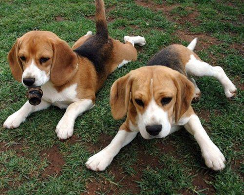 Beagles. (Foto: Reprodução / Google)
