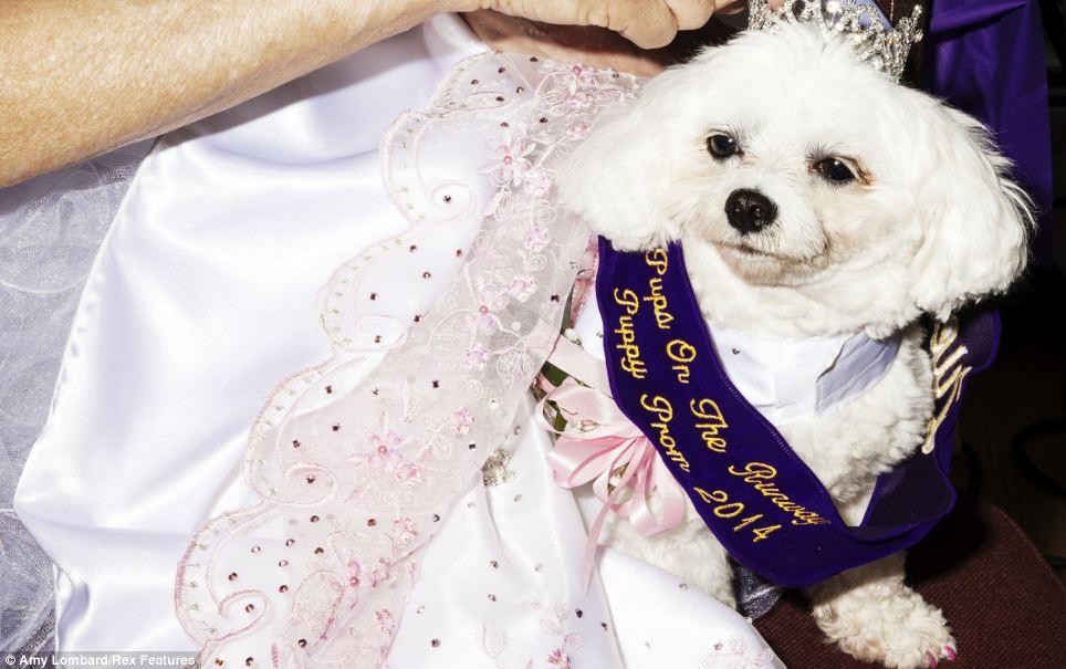 A maltês Bella Mia ganhou o título de rainha do baile 2014. (Foto: Reprodução / Amy Lombard / Daily Mail uk)