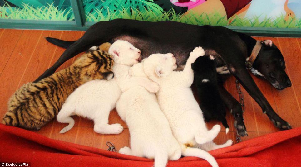 Cachorra adotou três filhotes de leão branco e um de tigre siberiano. (Foto: Reprodução / Daily Mail uk)