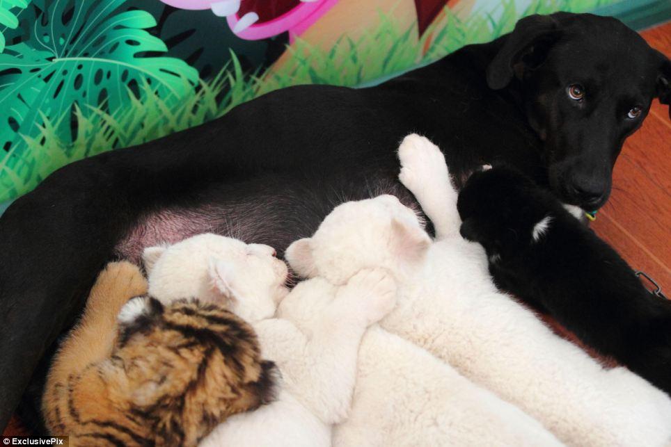A cadela amamenta todos esses filhotes. (Foto: Reprodução / Daily Mail uk)