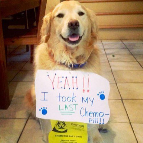 Este cachorro tomou sua última pilula da quimioterapia. Agora está livre do câncer.
