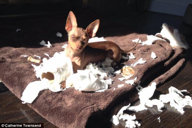 Chihuahua é a raça que causa mais estragos na casa. (Foto: Reprodução / Daily Mail uk)