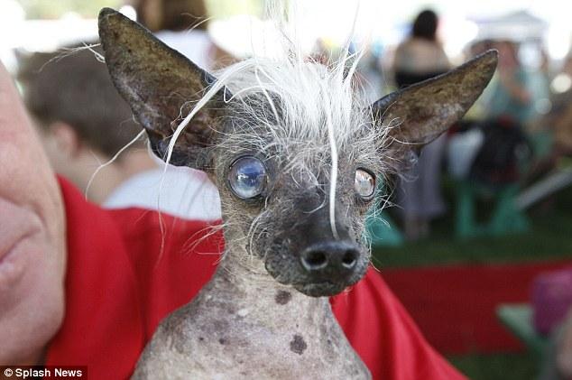 SweePee Rambo é uma mistura de Chihuahua com Cão de Crista Chinês.