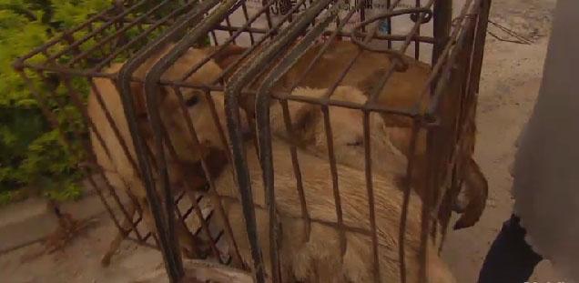 Cães sendo transportados para o festival, onde serão consumidos. Foto: Reprodução/CNN