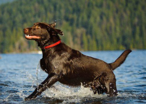 Labrador Retriever. (Foto: Reprodução / Tara Gregg / Vetstreet)