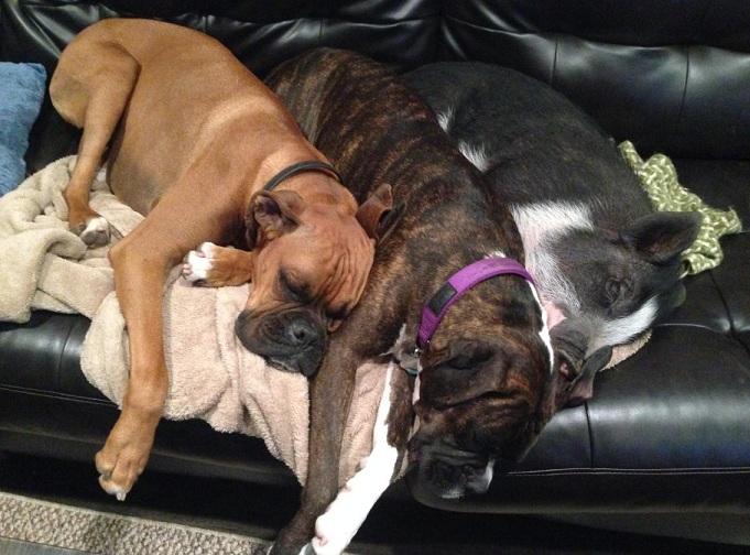 Os três dormem juntos. (Foto: Reprodução / Imgur / pigpimpim)