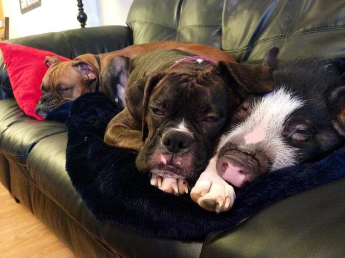 A porca vive com dois cães.  (Foto: Reprodução / Imgur / pigpimpim)