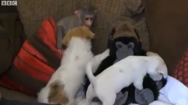 Macaquinha e dois cachorrinhos são grandes amigos. (Foto: Reprodução / Youtube / BBC News)