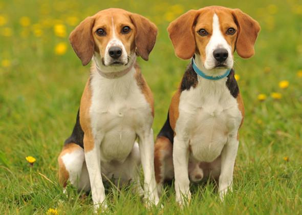 Beagle (Foto: Reprodução / Veetstreet)