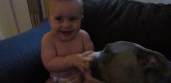 bebe-gargalhadas-pit-bull-lambidas-video