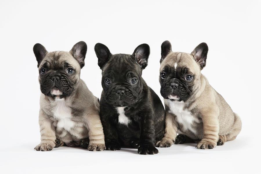 buldogue-frances-cachorros-filhotes-fotos-fofos (2)