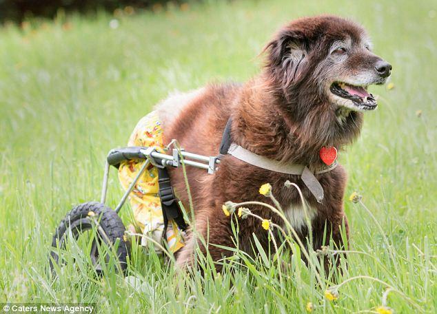 A cachorra reaprendeu a andar com a ajuda de uma cadeira de rodas. (Foto: Reprodução / Daily Mail uk)