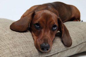 Cachorros também sentem ciúmes. (Foto: Reprodução / Google)