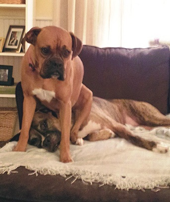 (Foto: Reprodução / Bark Post / Boxers sitting on other boxer)