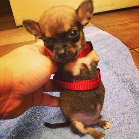 O cachorro Turbo nasceu sem as duas patas da frente. (Foto: Reprodução / 6 ABC The Indy Channel)