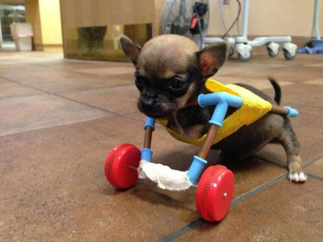 Cachorrinho que nasceu sem duas patas ganhou uma cadeira de rodas feita com peças de brinquedos. (Foto: Reprodução / 6 ABC The Indy Channel)