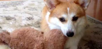 cachorro-ursinho-bola-fetch-engracado