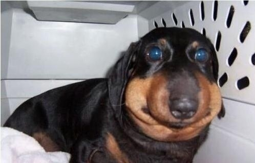 cachorros-abelhas-picada-11