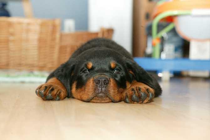 cachorros-quase-dormindo (10)