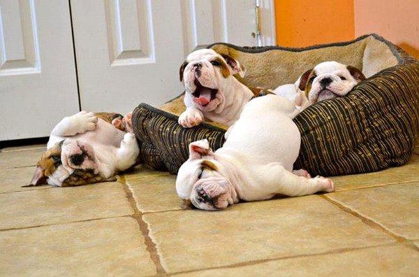 cachorros-quase-dormindo (13)