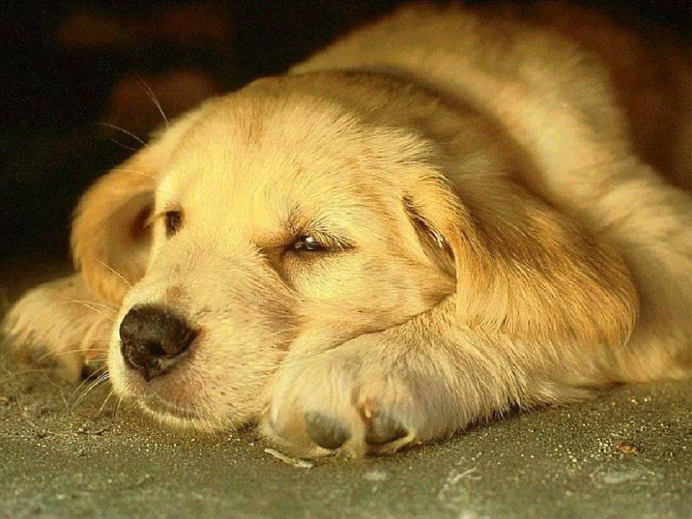 cachorros-quase-dormindo (14)
