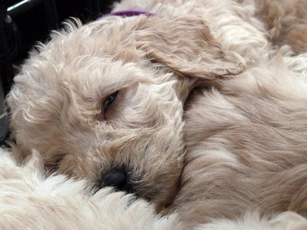 cachorros-quase-dormindo (16)