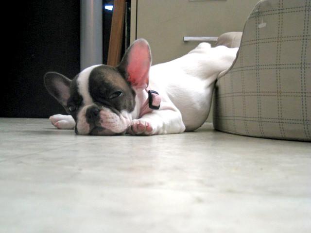 cachorros-quase-dormindo (17)