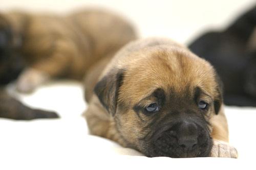 cachorros-quase-dormindo (2)
