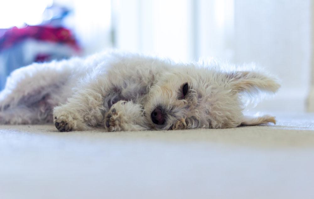 cachorros-quase-dormindo (21)