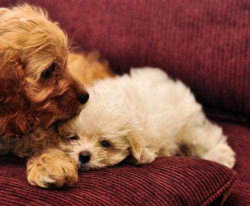 cachorros-quase-dormindo (3)