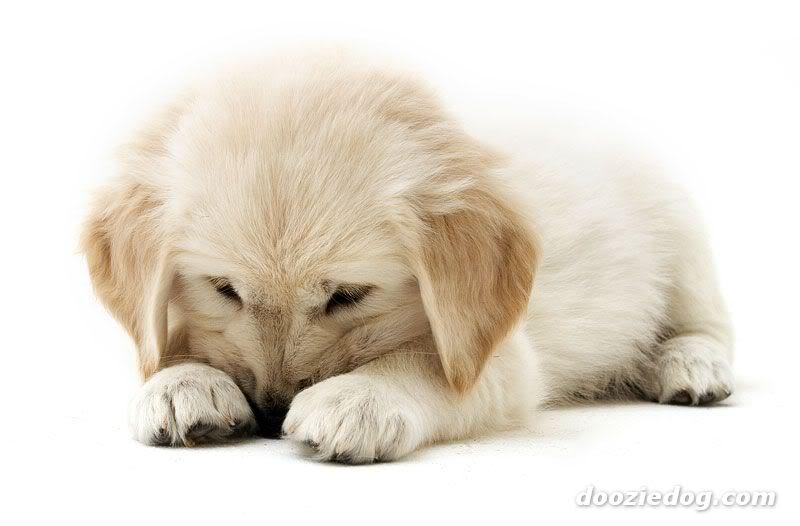 cachorros-quase-dormindo (7)