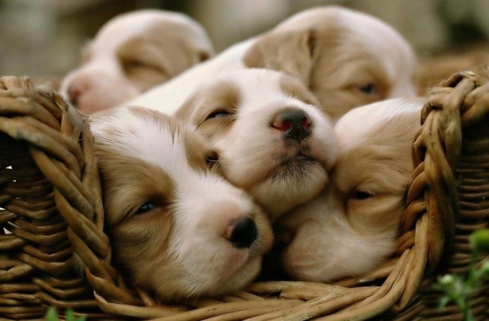 cachorros-quase-dormindo (8)