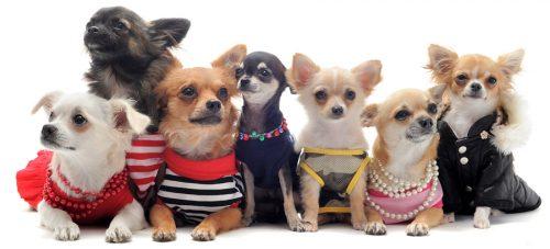 Chihuahua (Foto: Reprodução / Google)
