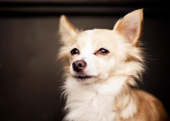 Chihuahua (Foto: Reprodução / Veetstreet)