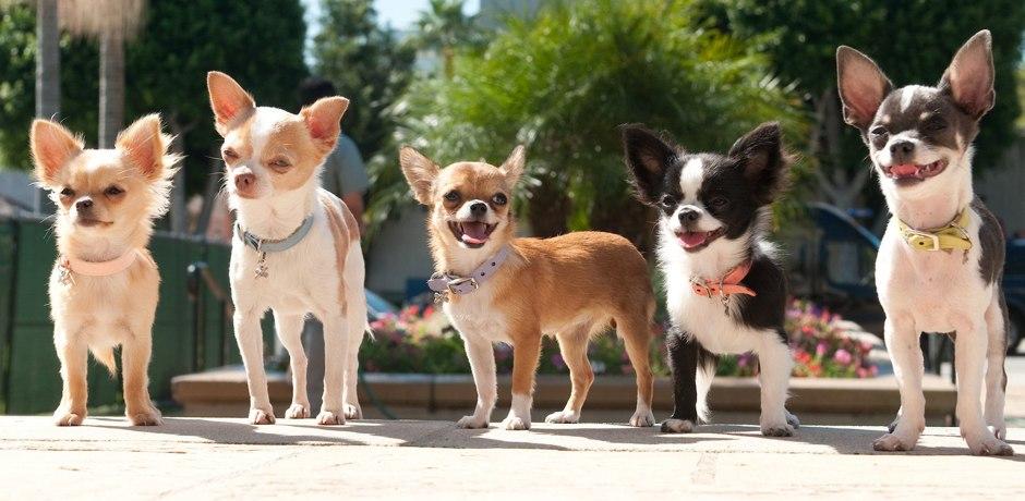 Chihuahuas costumam ser muito corajosos.(Foto: Reprodução / Google)