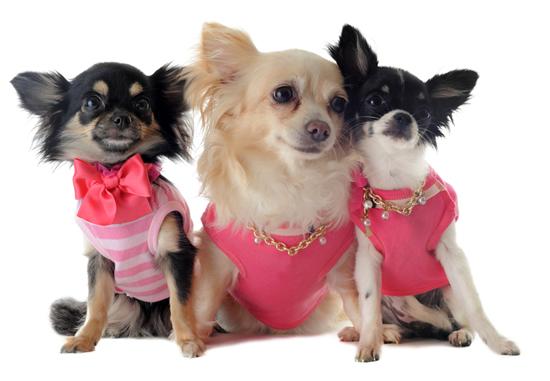 Chihuahua e suas curiosidades. (Foto: Reprodução / Google)