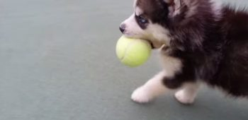 filhote-tenis-bola-video
