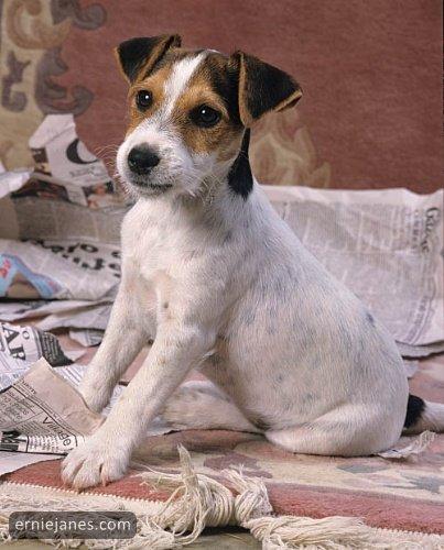 Jack Russell Terrier (Foto: Reprodução / Ernie Janes)