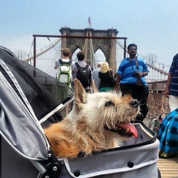 O cão Elmo passeia num carrinho de bebê. (Foto: Reprodução / Buzzfeed)