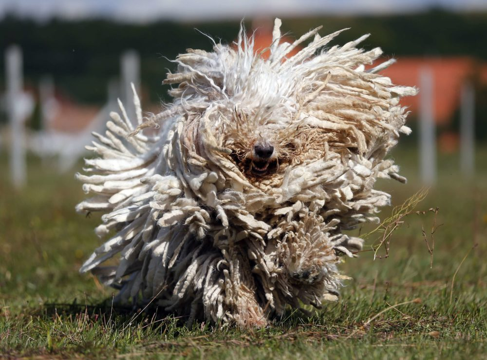 A Komondor, a traditional Hungarian guard dog, shakes its long fur in Bodony