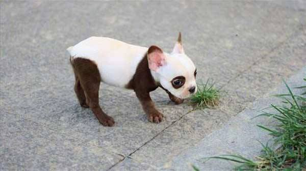 pelagem-cachorros-diferente- (13)