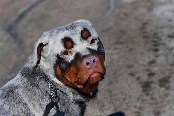 pelagem-cachorros-diferente- (15)