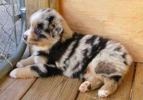 pelagem-cachorros-diferente- (17)