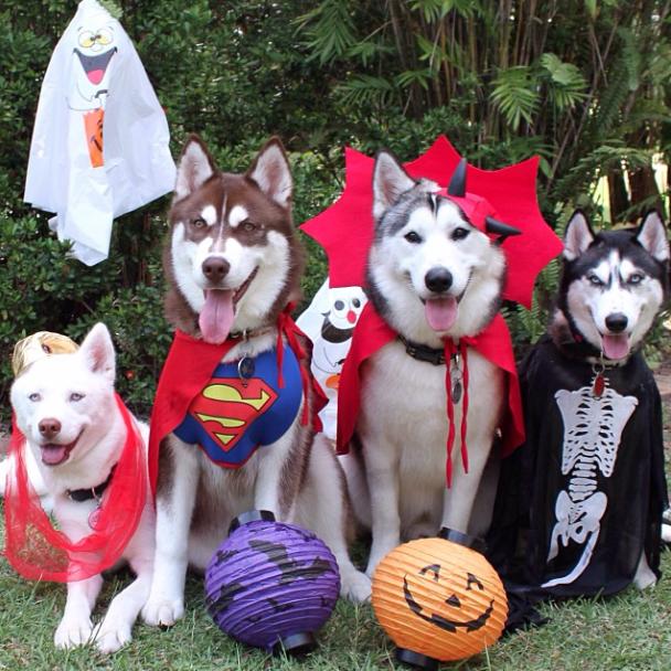 Quarteto de Huskies Siberianos fantasiados no Halloween. (Foto: Reprodução / Instagram)