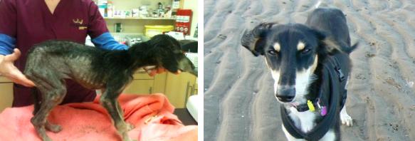 A cachorra Beryl foi encontrada em péssimo estado de saúde por dois operários, que a levaram para um centro da RSPCA. Ela estava fraca, subnutrida e com sarna. Após 6 semanas de tratamento, ela estava bem e pronta para morar em um novo lar. Seu peso passou de 3,47 kg para 20 kg.