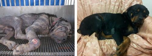 O cachorro Tiny foi encontrado por uma voluntária de um grupo de resgate em Taiwan, ele havia sido abandonado na rua. O cão estava muito magro e sofria com demodicose em todo o corpo (uma doença causada por ácaros). Parecia que ele havia desistido de viver. A voluntária se apaixonou pelo rottweiler e o levou para casa. Seu amor foi capaz de transformar Tiny em um lindo e saudável cachorro.