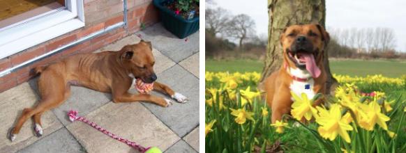 Quando foi resgatada, a cachorra Zimba pesava apenas 15 kg. Quatro anos atrás, ela foi morar em um novo lar e se transformou em um amado membro da família. Agora ela está mais confiante, feliz e saudável. Seu peso atual é de 31 kg.